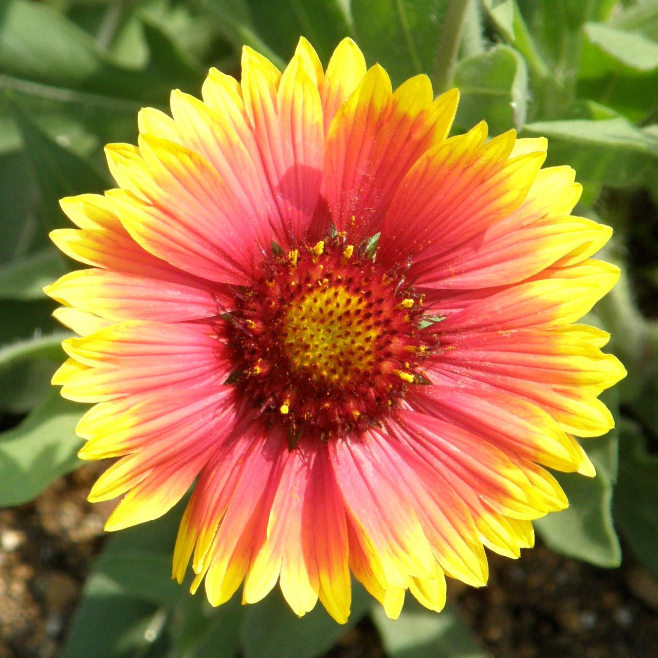 Flower Picture: Blanket Flower