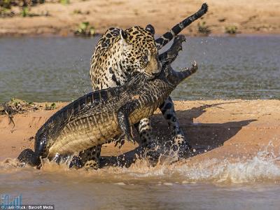 VIDEO youtube: Jaguar Attacks Crocodile