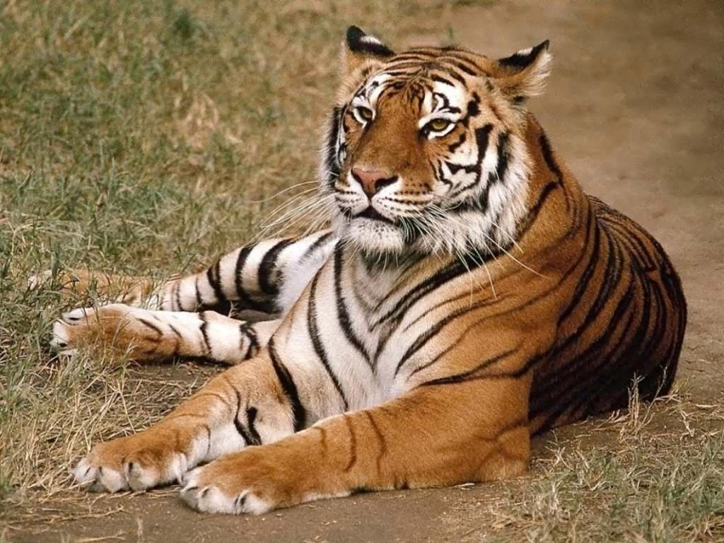 Download image tigre de bengala pc android iphone and ipad