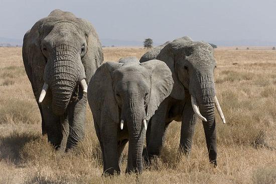 Gajah Afrika Hewan Paling Berbahaya Di Dunia