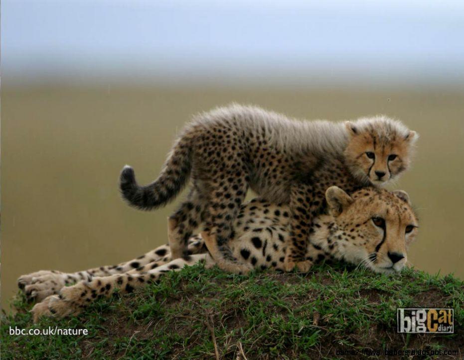 Baby Cheetah Wallpapers  HD Wallpapers Pulse