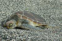 Green Tortoise on Black Stone Beach at Playa Tortuga Negra, Isabela Island, Galapagos