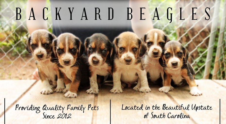 Backyard Beagles