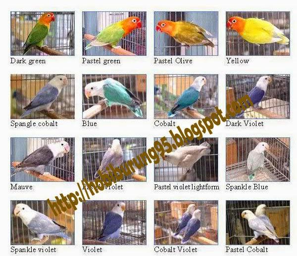 Daftar Harga Burung Lovebird Terbaru 2015