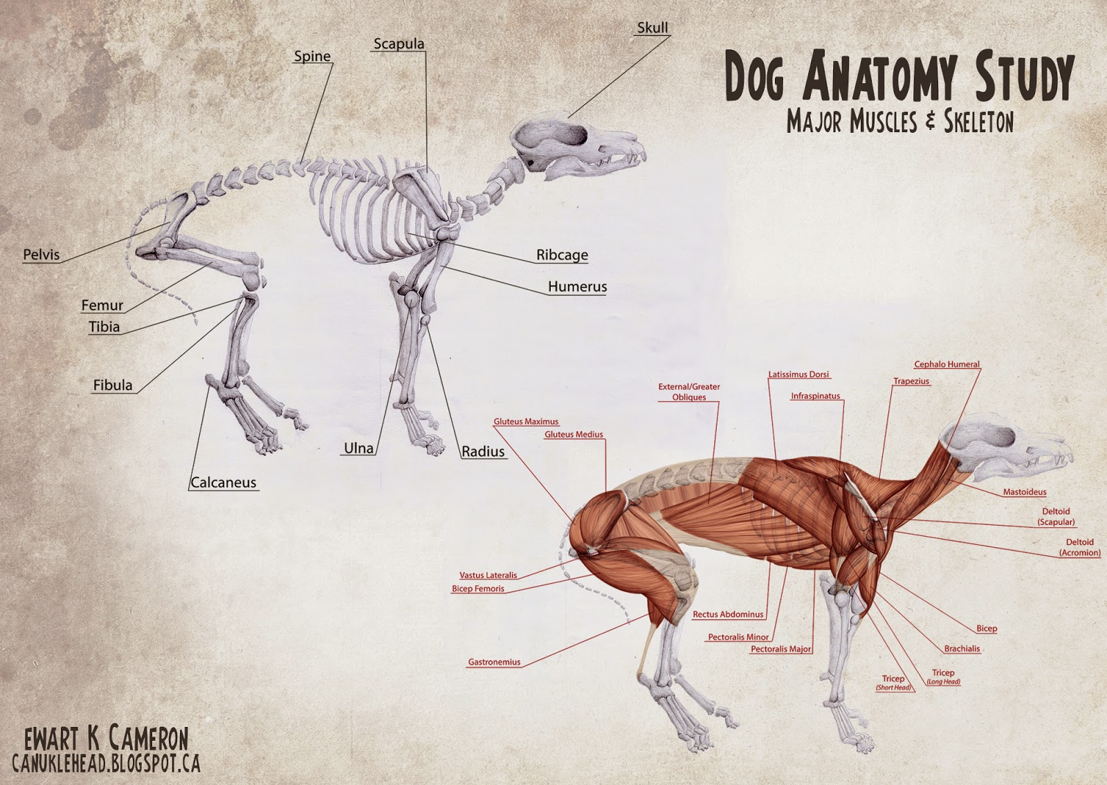 Ewart K Cameron: Dog Anatomy Study - Skeleton and Major Muscles