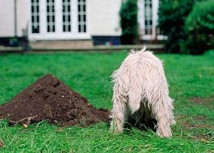 Chó thích đào bới. Bạn sẽ cần phải huấn luyện chúng để dừng lại. Nói