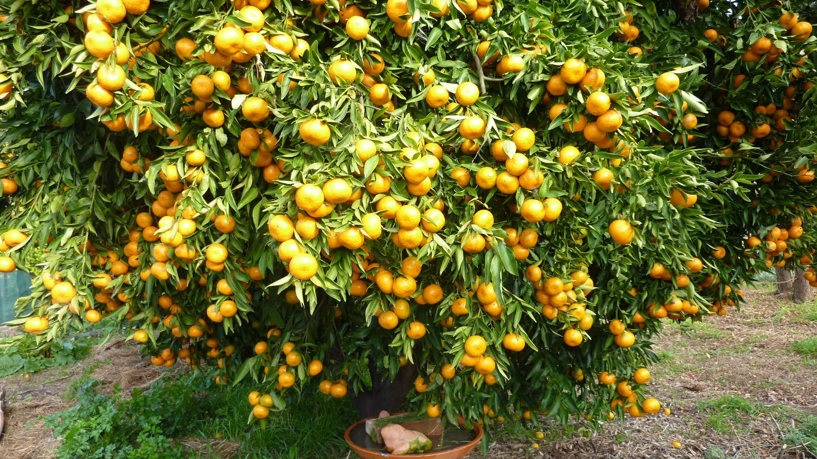 "balmoral park"" farm garden a bumper citrus harvest, Natural flower"