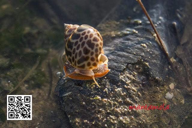 Babylonia snail (Babylonia spirata)
