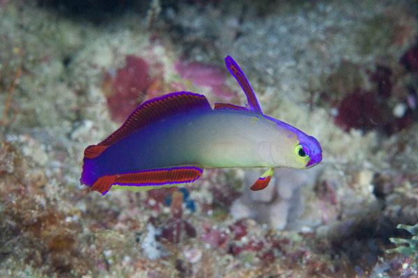 Dartfish - Fishes World - HD Images & Free Photos