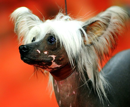 Weirdest Dog Breeds In The World Chinese Crested