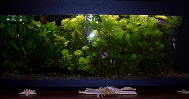 La vetrina arcobaleno il mio acquario d 39 acqua dolce for Arredo acquario acqua dolce