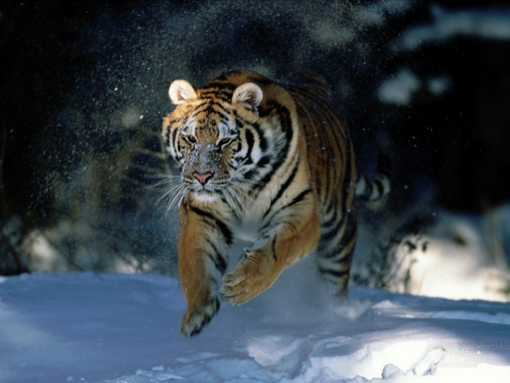 Hd desktop wallpapers tiger wallpaper tiger wallpapers - Tiger hd wallpaper for pc ...