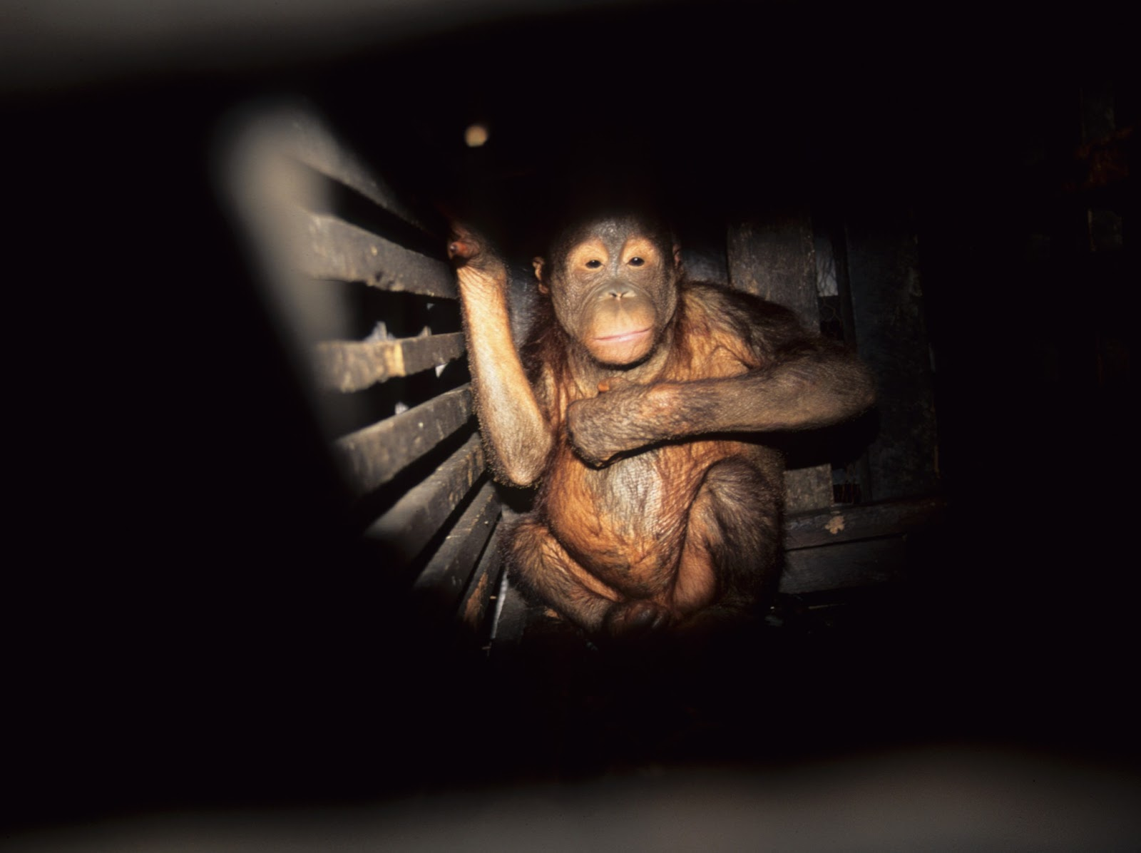 Orangutan-human hentai hardcore pics