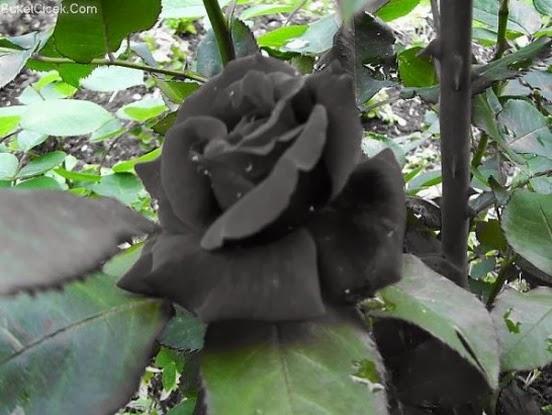 Imagenes y fotos Flores Negras parte 2 - Rosas Negras Naturales Imagenes