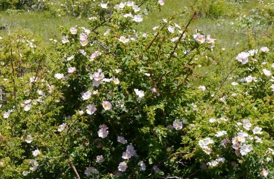 roses up White Bird Hill