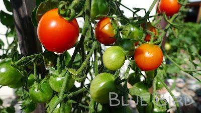 Garten im September - Tomate