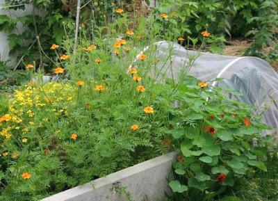 Blüten für Gesundheit im Gemüsegarten