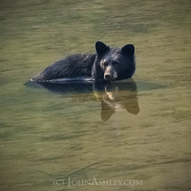 Black bear (c) John Ashley