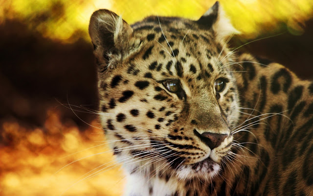 animals_leopard_wallpaper_hd_45