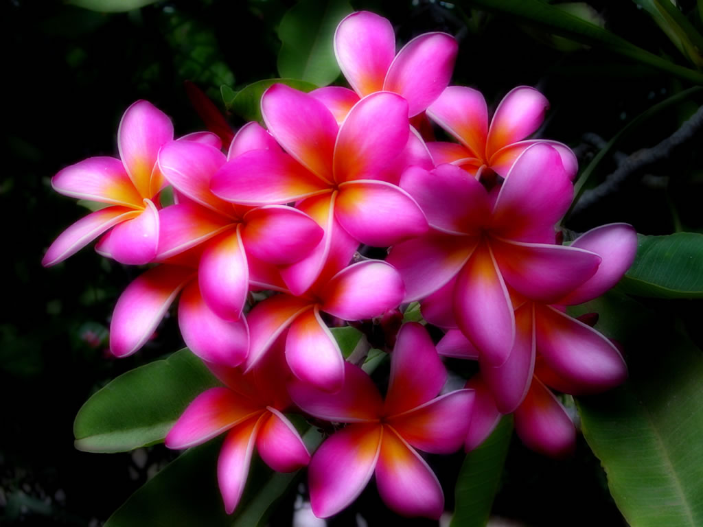 tropical flower wallpapers - photo #9