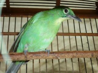 Tips Untuk Perawatan Burung Cucak Ijo