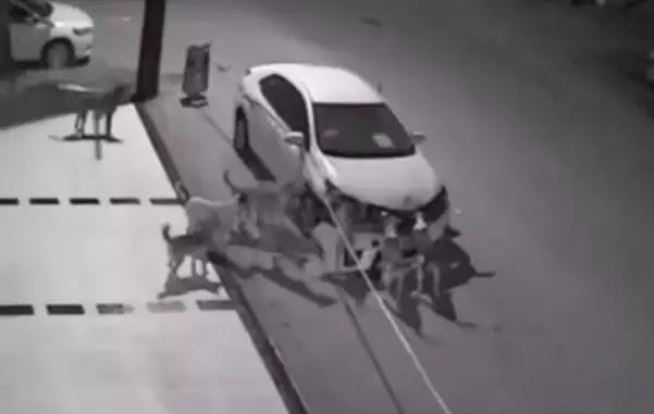Βίντεο Σοκ! Αγέλη σκύλων διέλυσε αυτοκίνητο στην Τουρκία