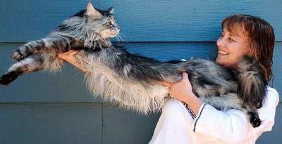 Ini Dia Kucing Paling Panjang di Dunia