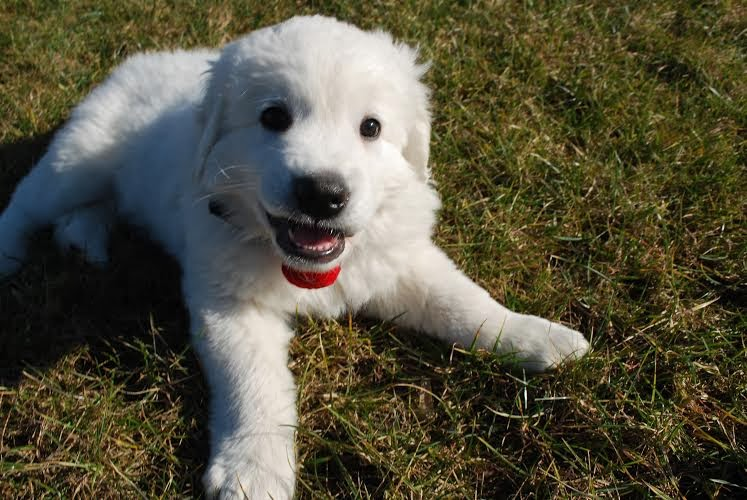 polish tatra puppy