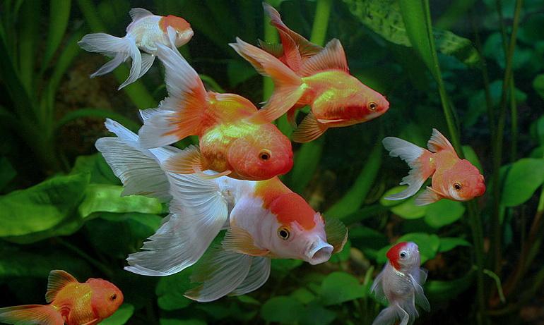 goldfish-Tank