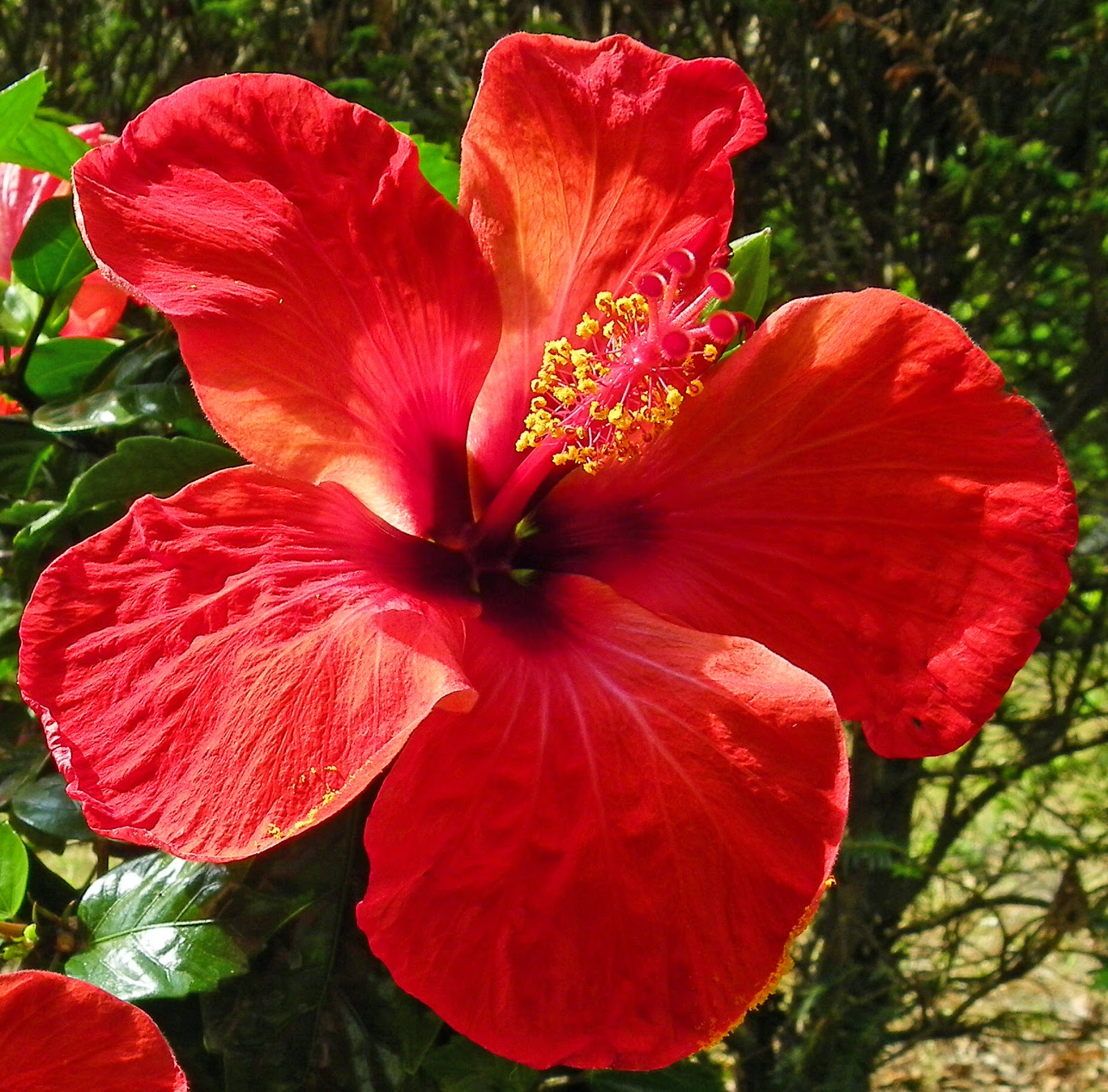 Gardening Tips For Beginners How To Grow Hibiscus