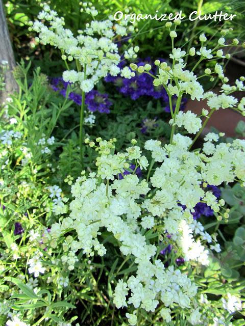 Dropwort Filapendula