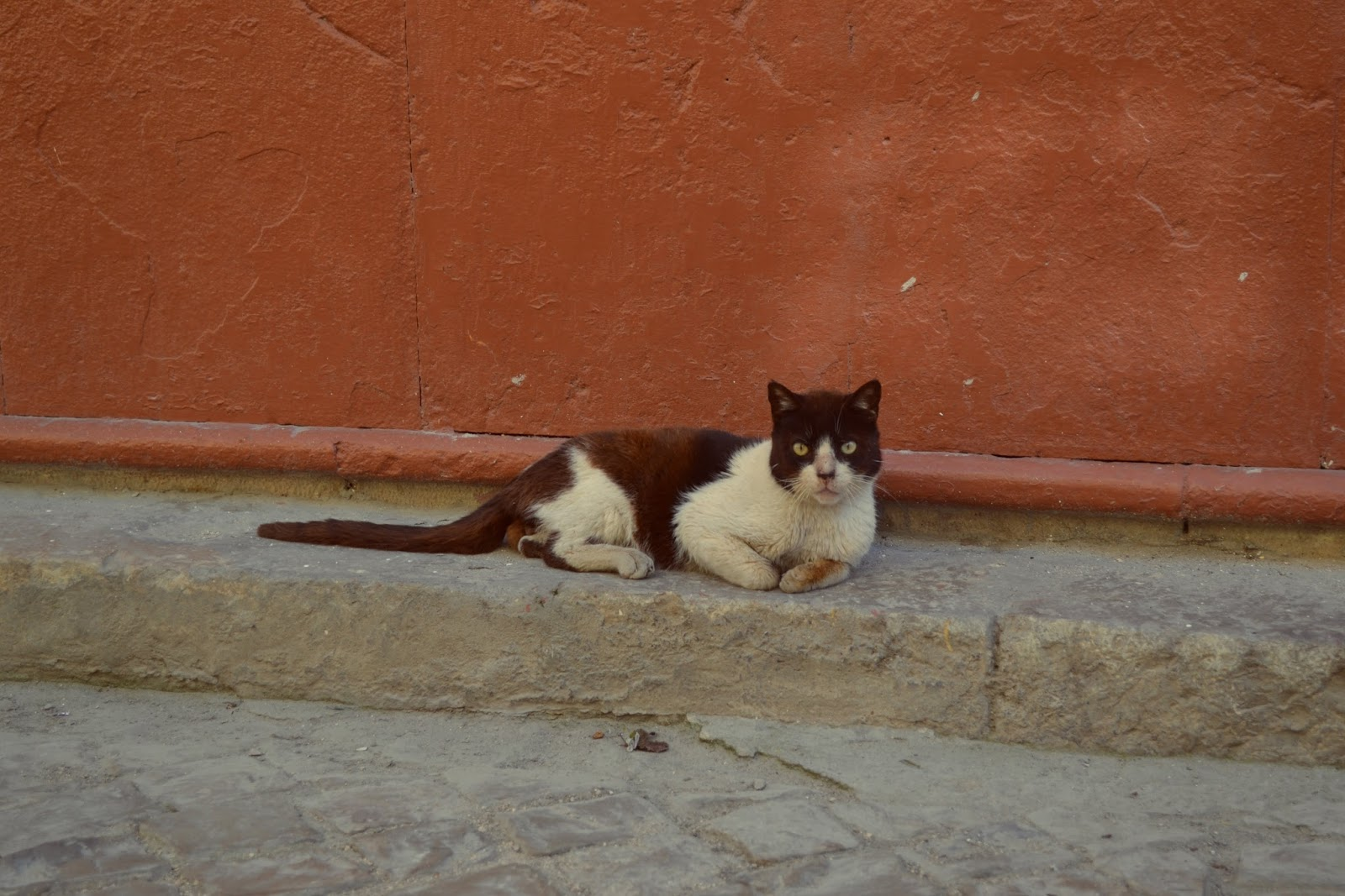 portuguese cat in olhao