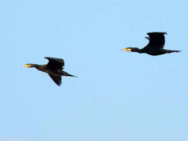 Great Cormorants, in flight
