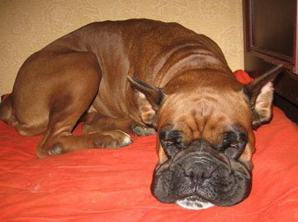 Рыжий боксер спит