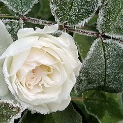 Gambar_mawar_putih_101