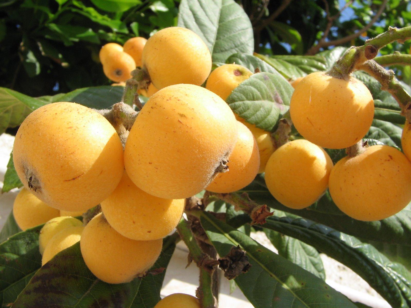 Мушмула что за фрукт как его есть и какой вкус