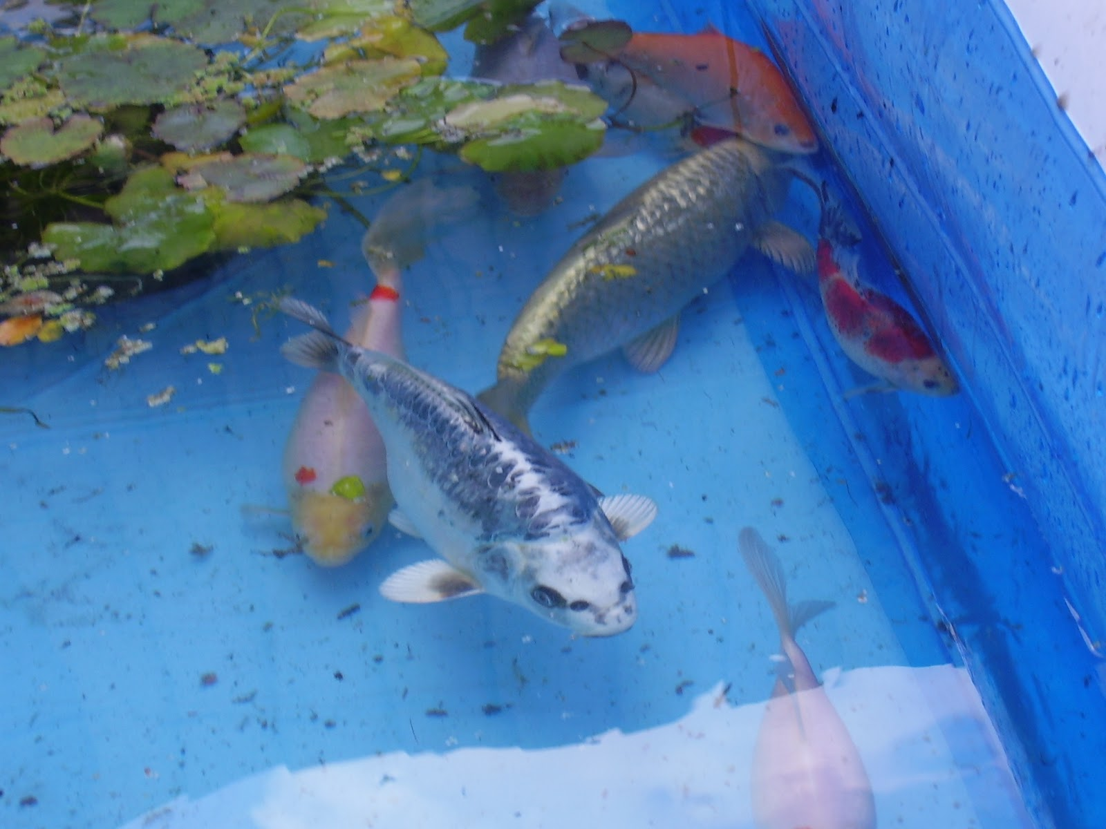 Life and times of a garden and pond for Koi in paddling pool
