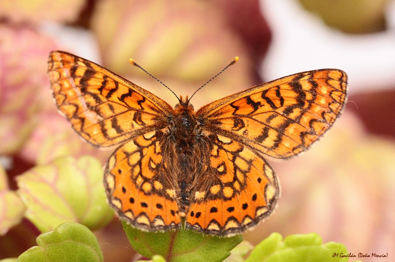 Fotograf a de naturaleza jm gavil n euphydryas aurinia - La madreselva ...