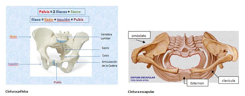 Huesos y articulaciones - Blog de nutrición, culturismo ...