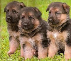 German-Shepherd-puppies-1