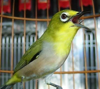 Burung Pleci Kontes