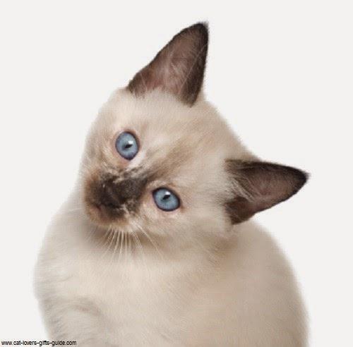 Photo chaton siamois avec beaux yeux