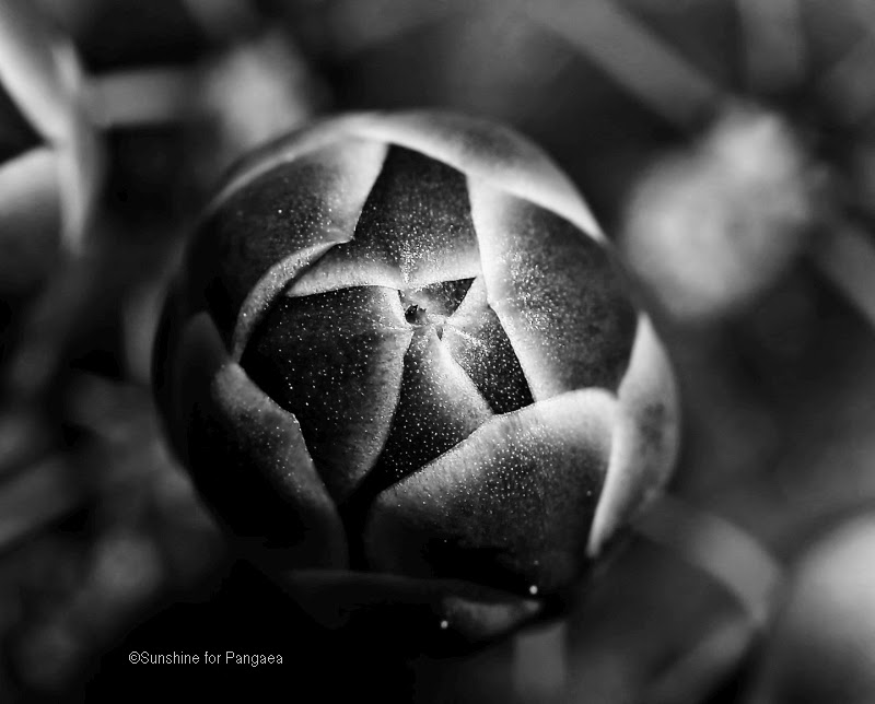 macro photo of cactus buds in black and white