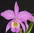 C. gaskeliana rosada
