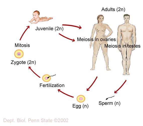 Essay on human life cycle