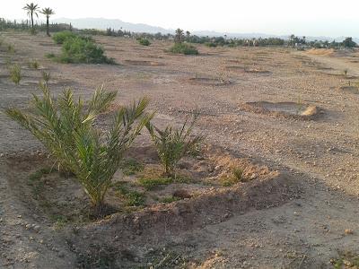 Réhabilitation de la palmeraie de Marrakech devant l'hôtel Les Deux Tours