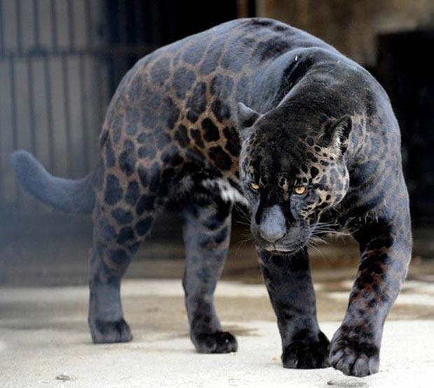 بالأسود أحلى حيوانات سوداء ولكنها جميلة melanistic-black-leo