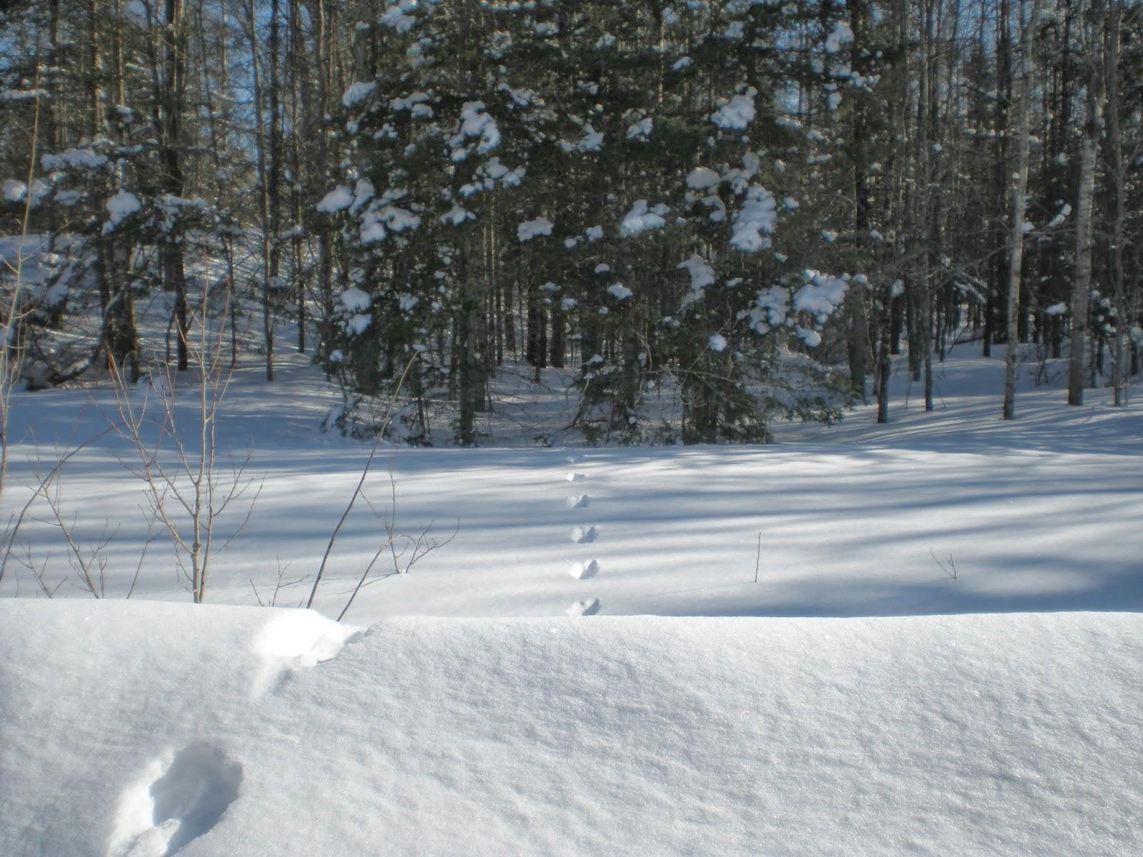 tracks, snow, fresh, minnesota, ely, winter, huisman