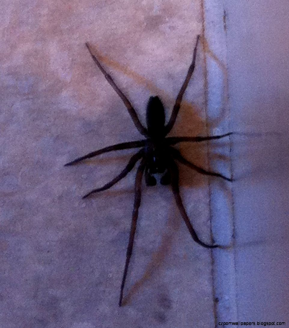 HD  Best Result Yellow Sac Spider Texas Photo Galery