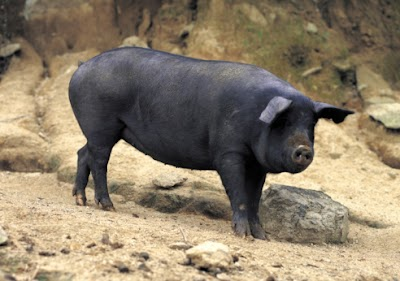 Illinois Hunters Asked to Report Sightings of Feral Swine